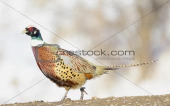 Common Ring-neck Pheasant, Phasianus colchicus