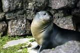 Galapagos Seals
