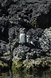 Galapagos Penguin