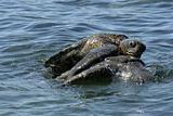 Mating Galapagos Sea Turtles