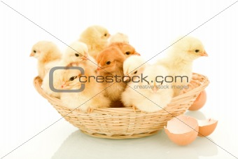 A basketful of fluffy spring chickens