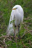 Great Egret, Ardea alba