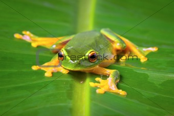 Beautiful green frog sitting on leaf