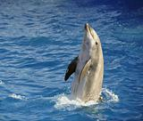 Bottlenose dolphin.