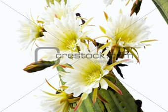 Close up of cactus flowers - Trichocereus scopulicolus