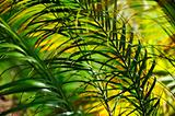 Palm tree leaves - Neodypsis - abstract background