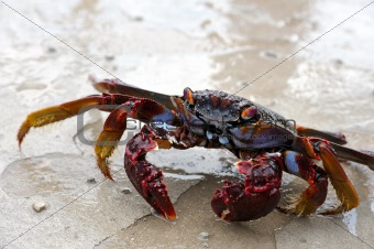 Close up of live crab