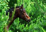 winter portrait of bay horse in pine