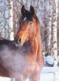 winter portrait of bay horse