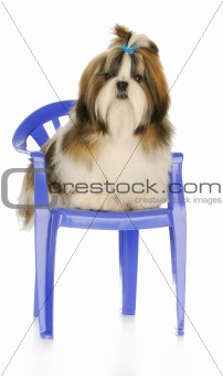 cute puppy sitting on chair