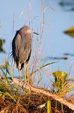 Little Blue Heron, Egretta caerulea