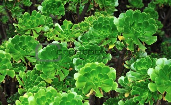 Close up of an ornamental Aeonium - succulent (Pinwheel)