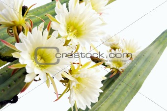 Close up of cactus flowers - Trichocereus scopulicolus