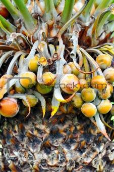 Close up of palm tree fruit - Cycas circinalis