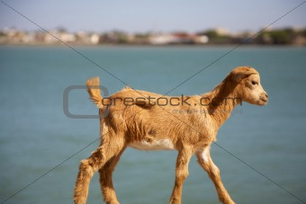 Goat kid with the river behind
