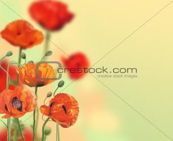Beautiful Poppies Border