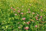 Many wild clover flowers