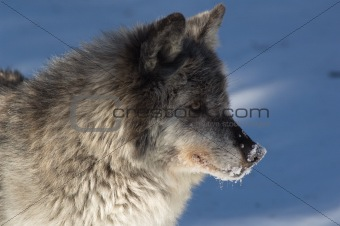 Gray Wolf - Canis lupus