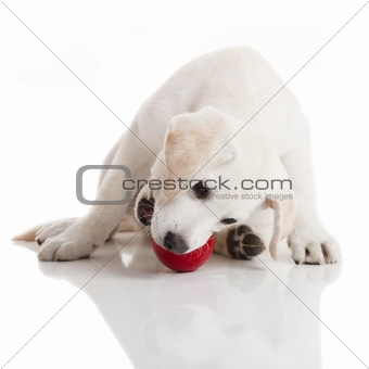 Labrador Puppy playing