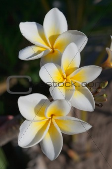 Frangipani flowers