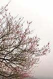 Sakura spring blossoms