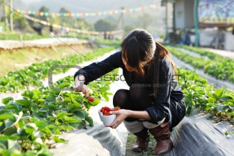 girl pick strawberry for fun in farm