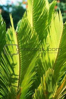 Beautiful green Cycas revoluta