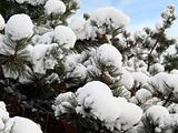 Pine tree with snow