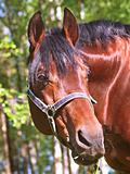 portrait of bay horse