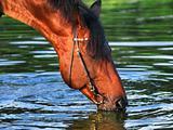 drinking bay horse