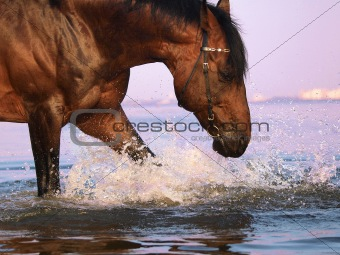 splashing  bay horse