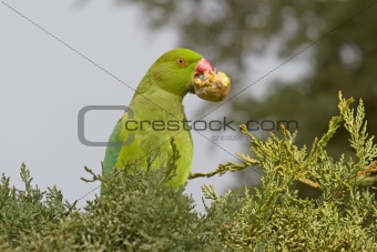 Green Parrot Eating a Cypress Cone