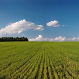 Green field and blue sky with white clouds.