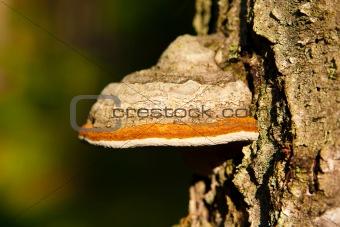 timber fungus
