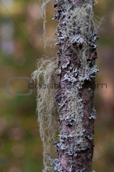 grey lichen