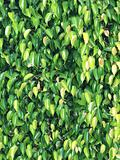textures of ficus leaves close-up