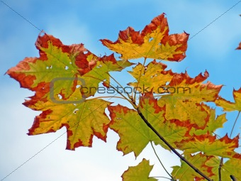 Autumn maple leaves against the sky