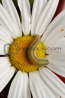 caterpillar on the English daisy