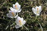 Spring flowers white crocuses