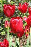 Spring red tulips in garden