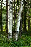 Trunks of birch trees in sunlight