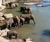 Elephants bathing