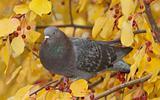 Feral Pigeon, Columba livia