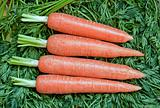 Fresh ripe raw carrot