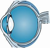 Human Eye  medical illustration