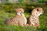 Couple of cheetahs