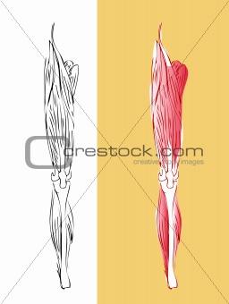 Anatomic leg muscular system