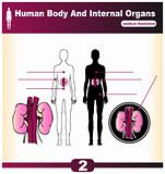 Human Internal Organs vector Kidney