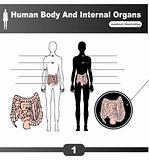 Human Body Internal Organs vector