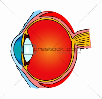 Eye Anatomy, human medical illustration, emblem, scheme